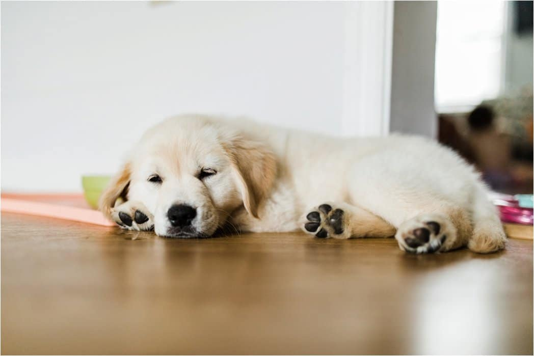 10 week old english golden retriever